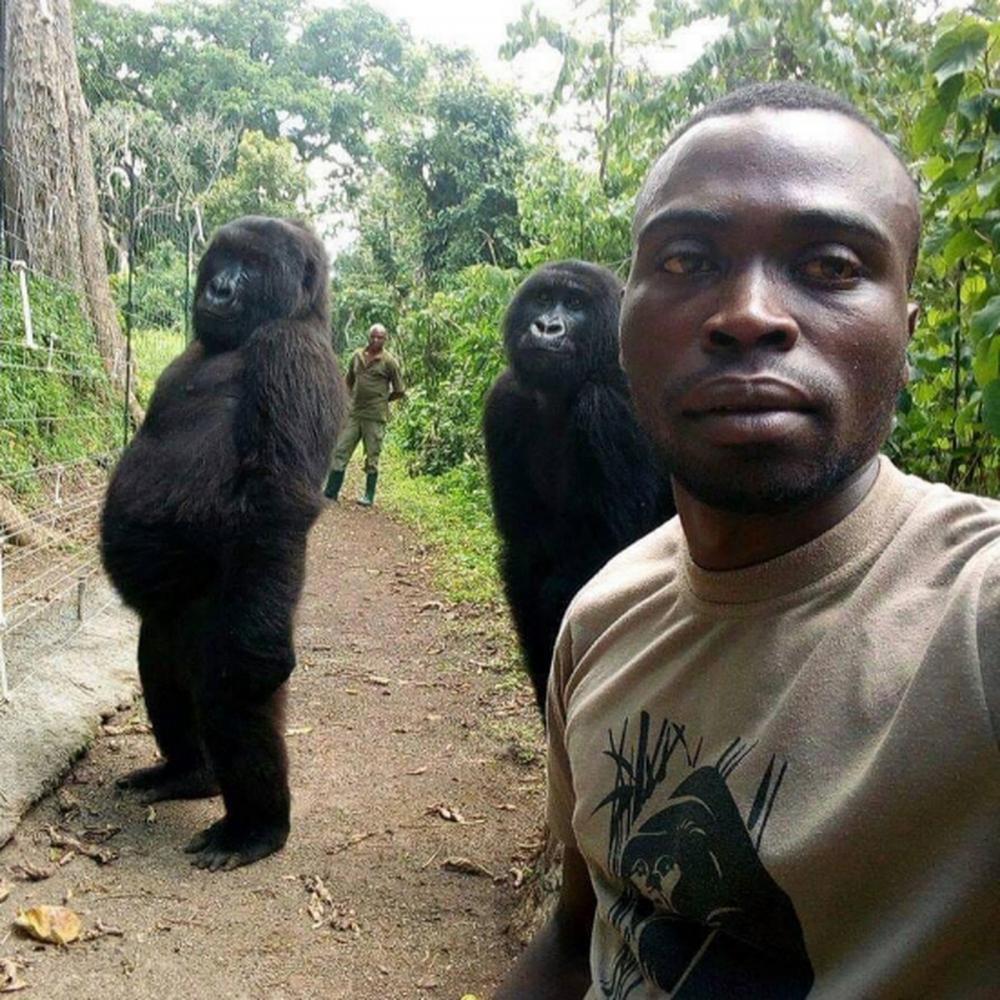 O diretor do parque, Innocent Mburanumwe, disse à BBC Newsday que os dois animais aprenderam a imitar seus protetores, que cuidaram deles desde o resgate. Segundo Mburanumwe, os gorilas encaram os dois guardas florestais como seus pais. O diretor do parque contou que as mães dos gorilas foram mortas no mesmo mês, em julho de 2007. Um dos filhotes tinha dois meses e o outro, quatro meses. Eles foram encontrados e levados ao Santuário Senkwekwe, em Virunga, onde têm vivido desde então. Mburanumwe explica que, como os dois gorilas conviveram durante toda a infância com os guardas que os resgataram, passaram a
