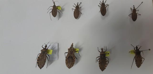 Barbeiro é o transmissor da Doença de Chagas — Foto: Toni Francis/G1